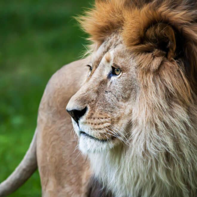 der Kopf eines männlichen Löwen von der Seite gesehen